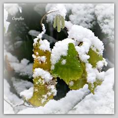 Autumn leaves with a touch of winter (Cajaflez) Tags: winter snow sneeuw ngc autumnleaves panasonic mfcc herfstbladeren thegalaxy kronkelhazelaar 100commentgroup saariysqualitypictures windinghazel mygearandme dmcfz150 rememberthatmomentlevel1 rememberthatmomentlevel2 rememberthatmomentlevel3