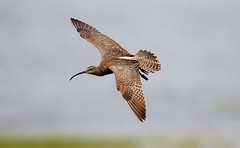 Whimbrel (TW098) 6Z2K1180-1 (ABERLIN2009) Tags: freedomtosoarlevel1birdphotosonly freedomtosoarlevel1birdsonly