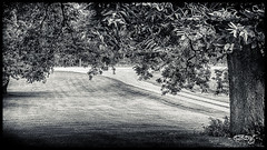 Shade (dougkuony) Tags: noblepastures organicfarm shadetrees trees redoak mono monochrome bw blackandwhite hdr