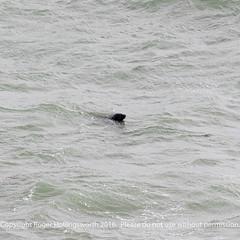 Grey Seal (doublejeopardy) Tags: mist thelizard gale cornwall places sea lizard england unitedkingdom gb