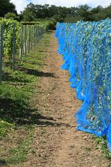 ckuchem-1424 (christine_kuchem) Tags: ahrtal anbau anbaugebiet eifel felsen naturschutz netze rotweinwanderweg schiefer schieferfelsen schutz sommer vogelfras vogelschutz weinanbau weinberg weintraubenanbau blau weintrauben