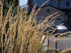 _MG_2037-1 (michellern78) Tags: nature wind grass wild summer light