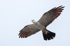 Mississippi Kite (zeroskilz) Tags: 500px mike timmons indiana kite mississippi bird wildlife aba miketimmons