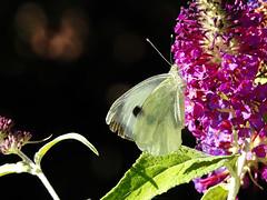 (Lepidoptera: Pieridae) Pieris brassicae, Klfjril / Large white (holgeric77) Tags: karlstad vrmlandsln sweden se pieridae pierisbrassicae lepidoptera