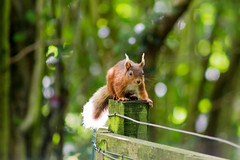 Red Squirrel (beckyyjane) Tags: red squirrel