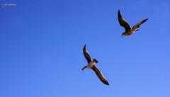 Chasing the Shrimp Catcher, i (F.emme) Tags: beach huntingtonbeach gulls seagulls shrimp pacificocean ocean