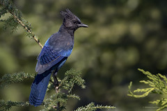 Who else can rock that black and blue colour scheme like the Steller's Jay (shimmeringenergy) Tags: stellersjay geaidesteller cyanocittastelleri westvancouver cypressmountain cypress bowenlookout 201633
