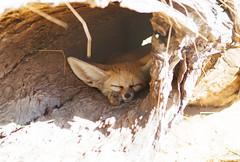 Sleepy fennec fox (VirtualWolf) Tags: animal australia canonef135mmf2lusm canoneos7d equipment fennecfox mammal mosman newsouthwales places sydney tarongazoo wildlife