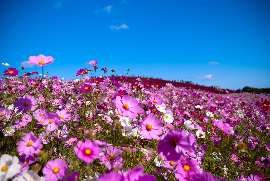 Cosmos - Hitachi Seaside Park, Japan