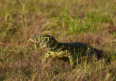Monitor lizard in the savana (supersky77) Tags: monitor lizard lucertola rettile reptile nilemonitor varanusniloticus varano savana queenelizabethnationalpark quenp kasenyi uganda africa