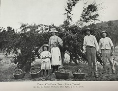Plum trees in Mr. C. Smith's Orchard at Glen Aplin, Qld - 1910 (Aussie~mobs) Tags: plumtree orchard stanthorpe queensland australia vintage csmith family glenaplin