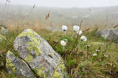 La firu' ierbii or Beauty of the tundra (Tudor G.) Tags: retezat pulsatilla romania macro flower lafiruierbii