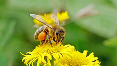 Honey Bee (jaytee27) Tags: honeybee naturethroughthelens