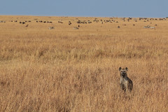 In a Vast Land (fuzzball5) Tags: 2016 africa kenya hyena masai mara