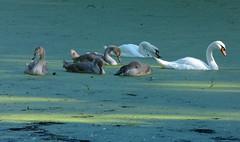 Mute swan family in duckweed (joeke pieters) Tags: 1290549 panasonicdmcfz150 zwaan zwanen swan knobbelzwaan muteswan hckerschwan cygnemuet cygnet cygnusolor ngc
