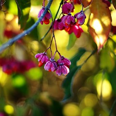 spindle [Euonymus europaeus] (SS) Tags: ss pentax k5 bokeh autumn lazio italy countryside frost smcpentaxm50mmf17 fall colors depthoffield plant outdoor euonymuseuropaeus spindle fruit