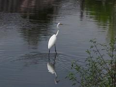 Great egret () (Greg Peterson in Japan) Tags: birds yasu rivers shiga egretsandherons wildlife oyamakawa japan shigaprefecture jpn