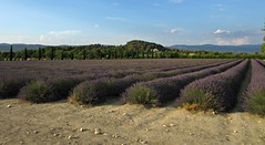 Lavender Field 3 (AmyEAnderson) Tags: crop lavender field rows flowers purple landscape bucolic horizon countryside provence france europe luberon plantings