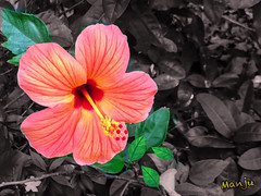 Life is like a flower. It can die and wilt at any time, but with a little tender love and care, it will bloom for what seems like forever.  {EXPLORED#184} (:::. Mnju .:::) Tags: hibiscus flower garden mobileclick iphone click