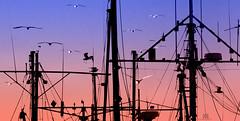 Newfoundland marina (marianna_armata) Tags: newfoundland marina boats yacht mast rigging birds gull gulls flying sunset colours dusk hss sliderssunday marianna armata