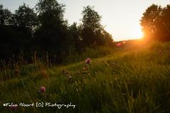 Flowers (falconoortphoto) Tags: flowers nikon nikond5200 sunset falconoort almere flevoland nederland