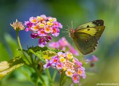 JSM_9164cloudedsulphur2 (JayEssEmm) Tags: clouded sulphur butterfly butterflies flower flowers flying flight towerhillbotanicgarden boylston massachusetts ma jsmcelvery mcelvery