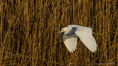 Snow Egret - Winging thru the Marsh (Jerry_a) Tags: birds egret snowyegret birdinflight bombayhook 400mmf56lusm canon7d