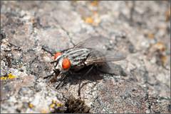 Ojos naranjas (Julio Codesal) Tags: macro ojos mosca piedra alberguera diptero