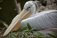Great White Pelican D (larryn2009) Tags: california white bird fall animal yellow zoo sandiego unitedstatesofamerica september 2012 pelecanusonocrotalus sandiegocounty greatwhitepelican sandiegosafaripark