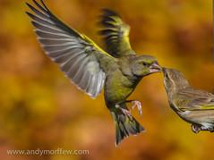 bird bravo hampshire thekiss greenfinches specanimal itchenabbas naturethroughthelens birdperfect andymorffew morffew