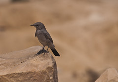 Blackstart (Avishai F) Tags: bird colors birds photography israel nikon telephoto d40 israelanimals