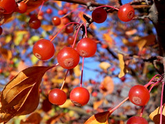 Love Red!! (The Dolly Mama) Tags: tree fall nature utah cherries berries