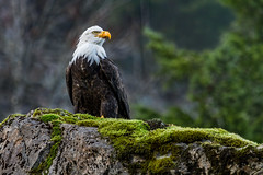 HIGH ON A CLIFF (Sandy Stewart) Tags: autumn winter canada color fall nature photography moss bc eagle photos wildlife baldeagle feathers pacificnorthwest majestic eagles baldeagles vancouverislandbc naturephotos wildlifephotos westvancouverisland sandystewart preybirds pacicificnorthwestvancouverislandbc