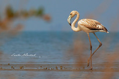 Greater Flamingo :   (Sakhr Abdullah |   ) Tags: pink red sea bird wildlife flamingo pale saudi arabia greater phoenicopterus roseus