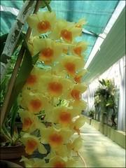 (Tölgyesi Kata) Tags: orchid orchidea greenhouse üvegház botanikuskert botanicalgarden withcanonpowershota620 füvészkert budapestfüvészkert budapest 蘭花 dendrobiumthyrsiflorum flower fleur virág zöld