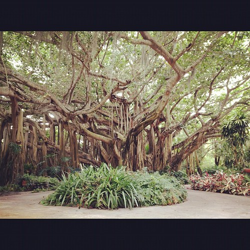 One ginormous banyan tree.