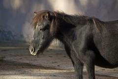 Shetland pony (Missud) Tags: summer animal animals canon germany deutschland zoo tiere sommer september pony heidelberg tierpark schwarz tiergarten tier 2012 shetlandpony badenwrttemberg rappe zooheidelberg eos500d canoneos500d