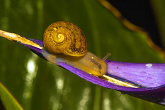 Snail on Bird of Paridise (charles25001) Tags: flower macro nature garden snail gardensnail