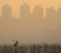 Red Deer at Dawn (Richard.Fisher) Tags: mist london fog skyline sunrise dawn stag teleconverter reddeer richmondpark cervuselaphus nikontc14e nikond800 afsnikkor300mmf4difed