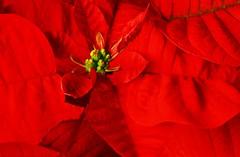 Pointsettia (Cindy's Here) Tags: red flower macro bold pointsettia takeaim canonvivid