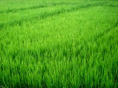 photo7 (/'maikel/) Tags: cute photo rice image photos photographs photograph ricefield riceplant