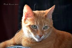 Bubbles the cat DSC_0574 (Trish Sweett) Tags: orange pet cats cat nikon feline tabby domestic short orangetabby dsh  nikon hair domestic d7000 pet d7000