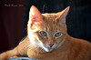 "Bubbles the cat DSC_0574 (Trish Sweett) Tags: orange pet cats cat nikon feline tabby domestic short orangetabby dsh "" ""nikon hair"" ""domestic d7000 pet"" d7000"""