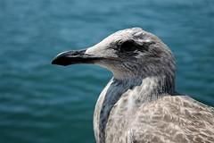 Birdy. (Megan Glc Photographe) Tags: mer marseille oiseau birdy mouette