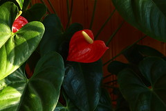 Arace (Big Blurred) Tags: flower fleur araceae arace