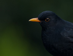 BLackbird (Jenny dot com) Tags: nature blackbird nationalgeographic orangebeak gardenbird thrushfamily orangeeyering