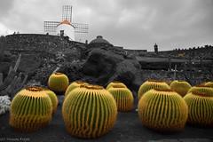 Jardín de Cactus (Thomas Frejek) Tags: lanzarote 2012 goldenbarrelcactus césarmanrique guatiza goldenball echinocactusgrusonii jardíndecactus superlativas schwiegermutterstuhl