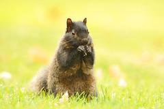 Black Squirrel (affinity579) Tags: autumn wild portrait black fall animal closeup nikon squirrel bright quebec blacksquirrel 70200mm 2xteleconverter specanimal d700