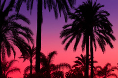 Palms at  sunset (Steve-h) Tags: pink blue sunset summer espaa color colour macro art tourism beach nature colors canon palms lens eos design seaside spain sand europe colours purple streetlamp may tourists andalucia palmtrees handheld costadelsol recreation andalusia seashore aerlingus allrightsreserved marbella 2012 palmfronds aperturepriority steveh canoneos5dmkii multisegmentmetering canoneos5dmk2 canonef100mmf28lmacroisusm may2012 summer2012 rememberthatmomentlevel4 rememberthatmomentlevel1 rememberthatmomentlevel2 rememberthatmomentlevel3 rememberthatmomentlevel7 rememberthatmomentlevel9 rememberthatmomentlevel5 rememberthatmomentlevel6 rememberthatmomentlevel8 rememberthatmomentlevel10