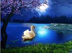 Moonlit Swan (Barbacci) Tags: lake bird art nature evening swan pond outdoor winner moonlight flickrchallengegroup friendlychallengeswinner